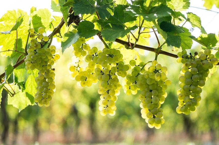Виноград Пино Блан фото