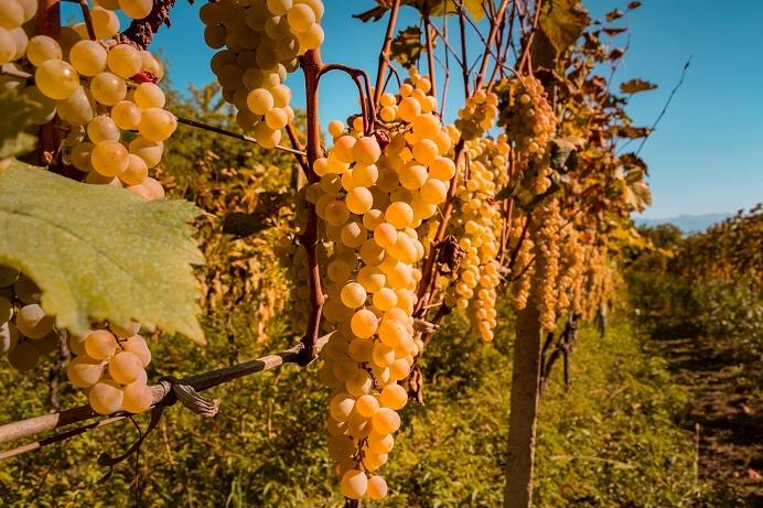 Виноград Цоликоури фото