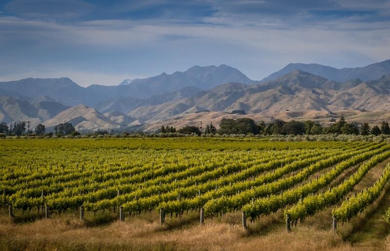 фото виноградника пино блан