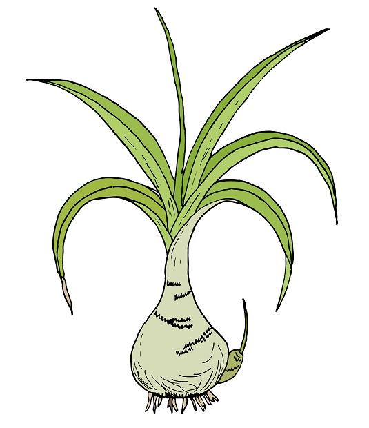 рисунок растения индийский лук