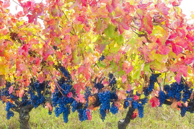 фото винограда сорта Альянико