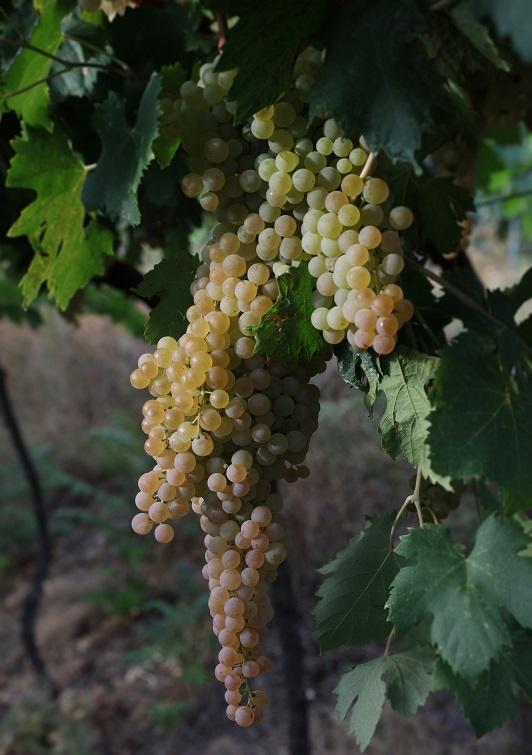 виноград сорта Гарганега