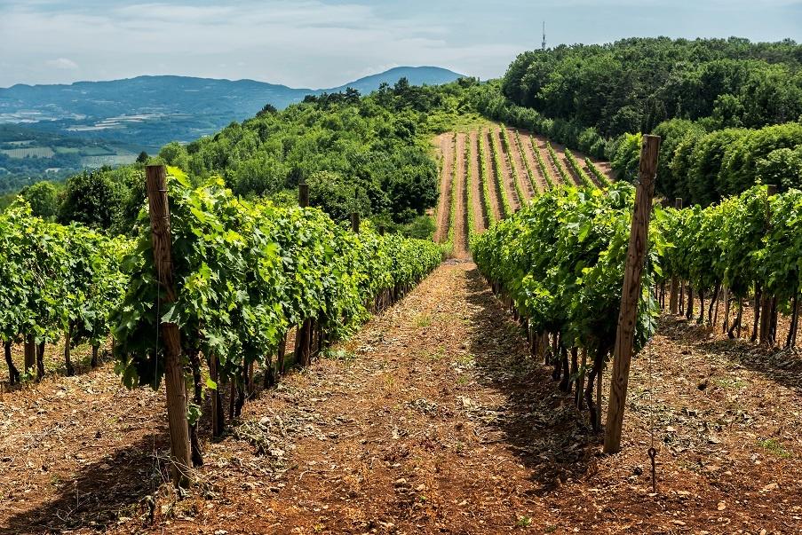 фото виноградника в Сербии