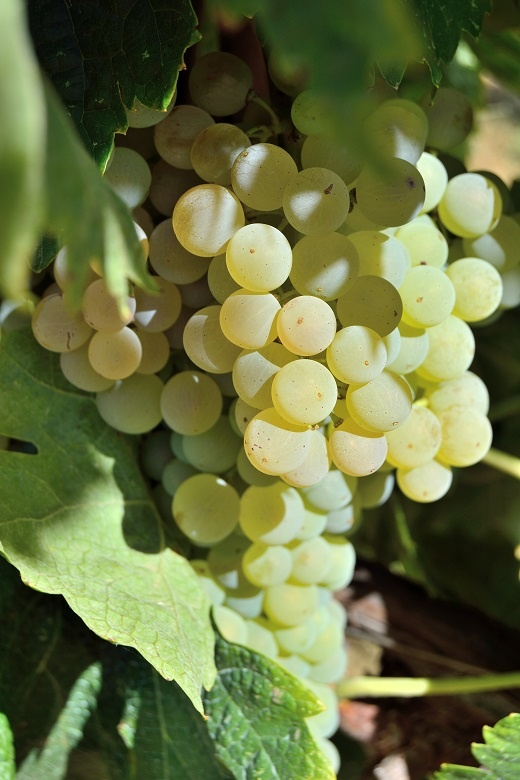 сорт винограда Кортесе