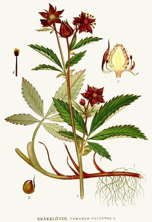 растение сабельник болотный фото