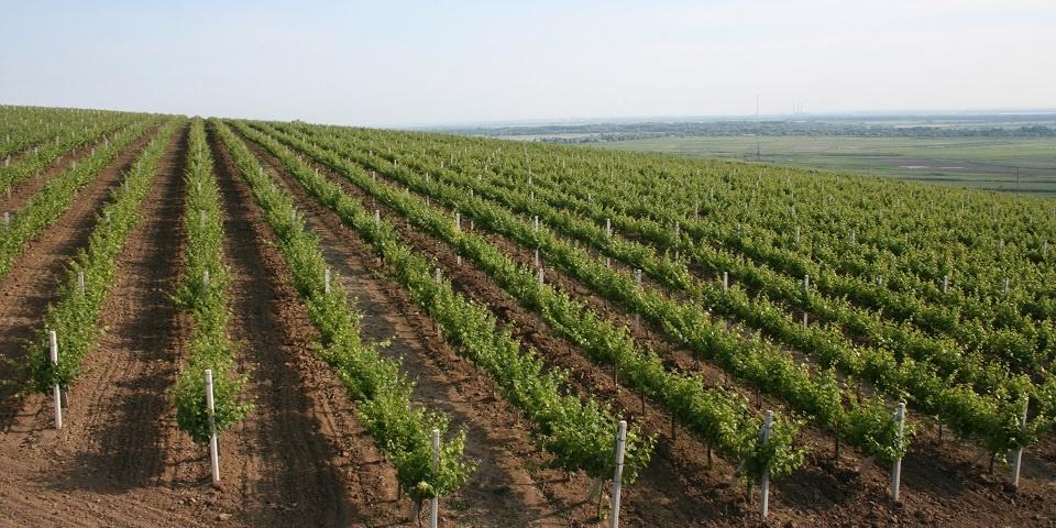виноградник в Молдове