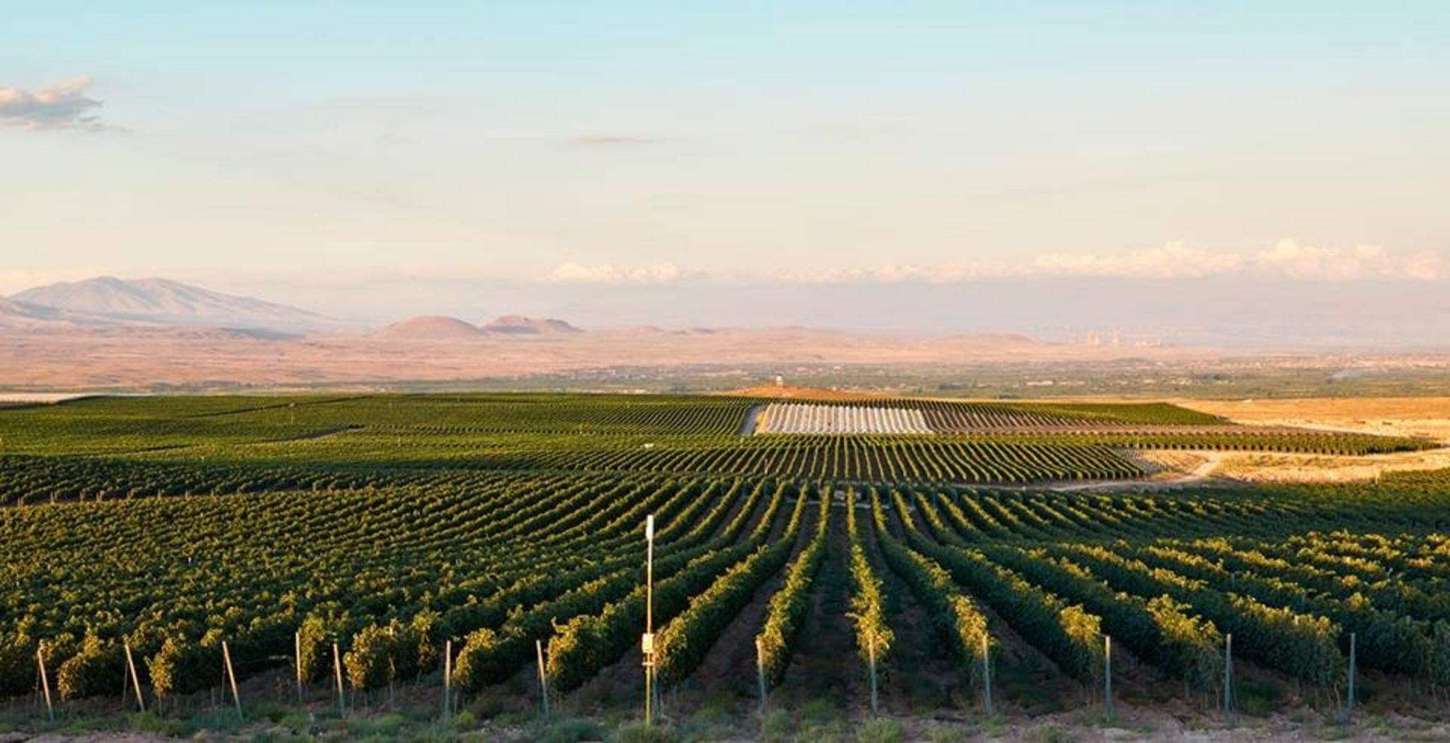 виноградник в Армении фото