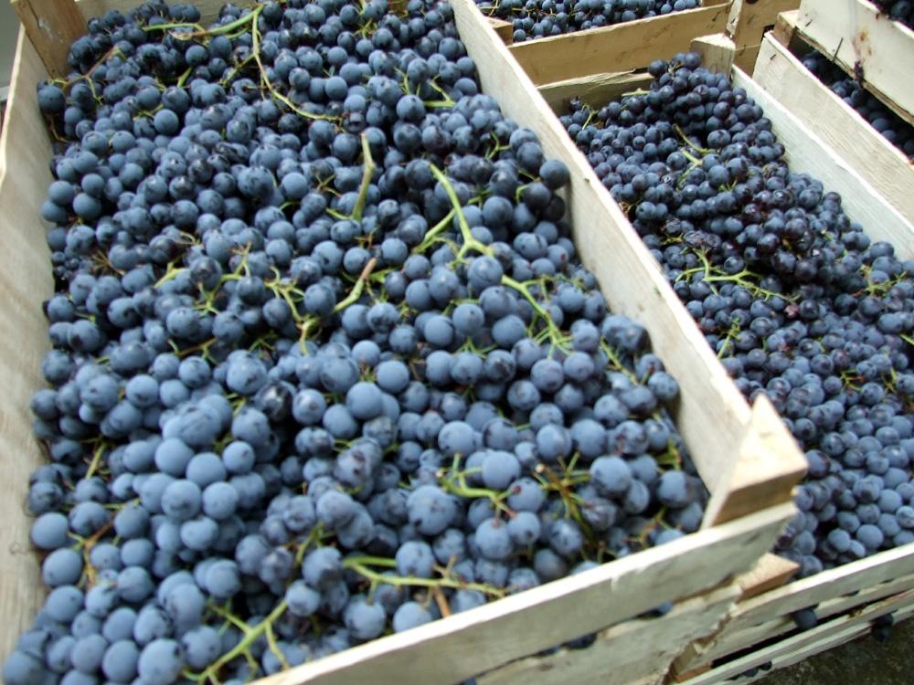 виноград Вранац фото