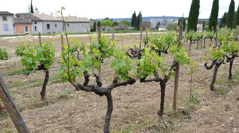 виноградник Зинфандель