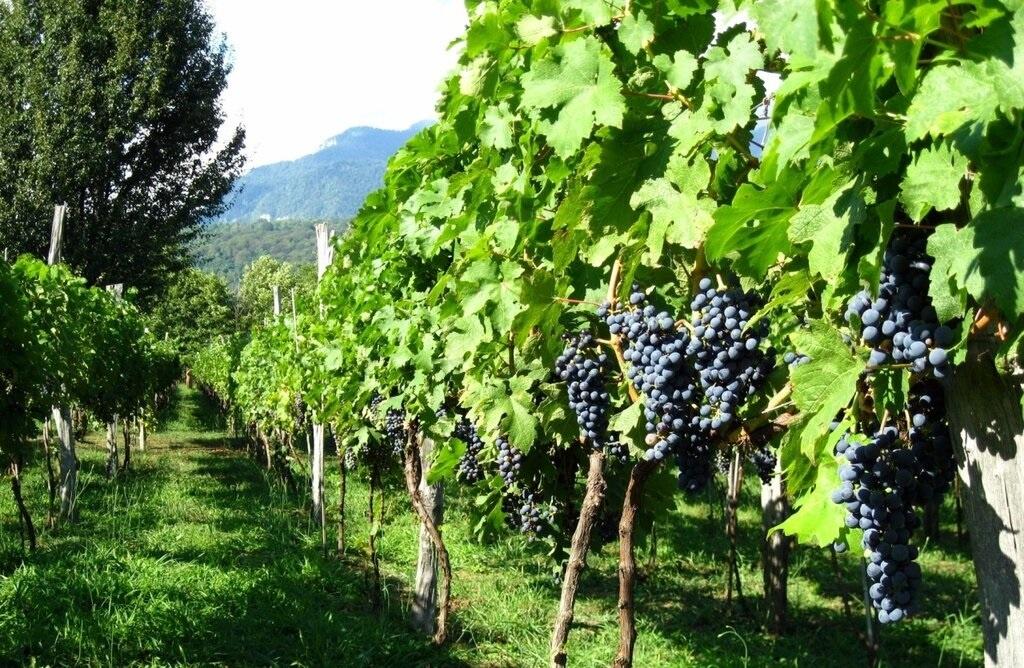 абхазский виноградник с Изабеллой