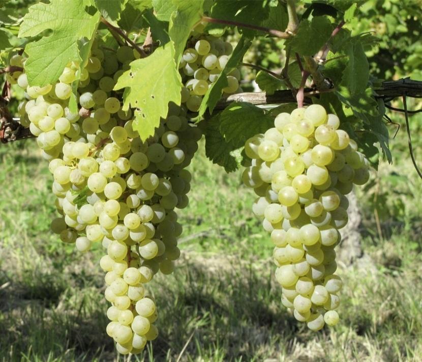 сорт винограда Грюнер Вельтлинер