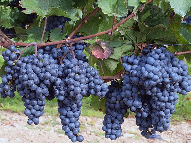 виноград для производства вина Эшера