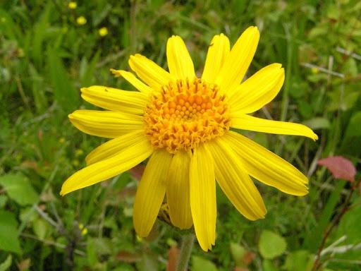 цветок арники фото