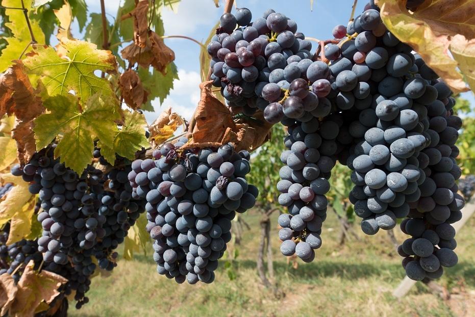 тосканский виноград Санджовезе