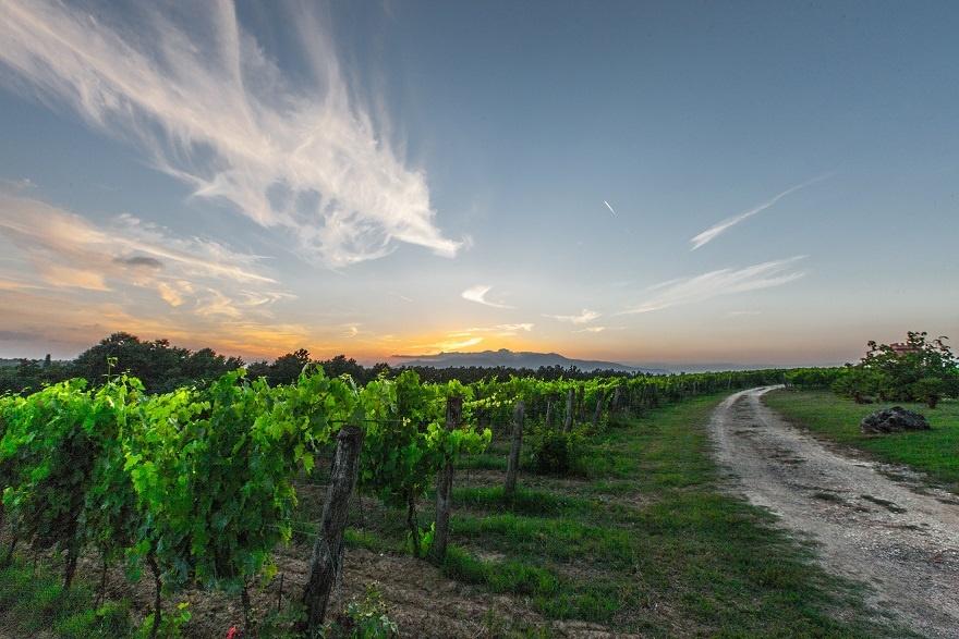 виноградник в Тоскане фото