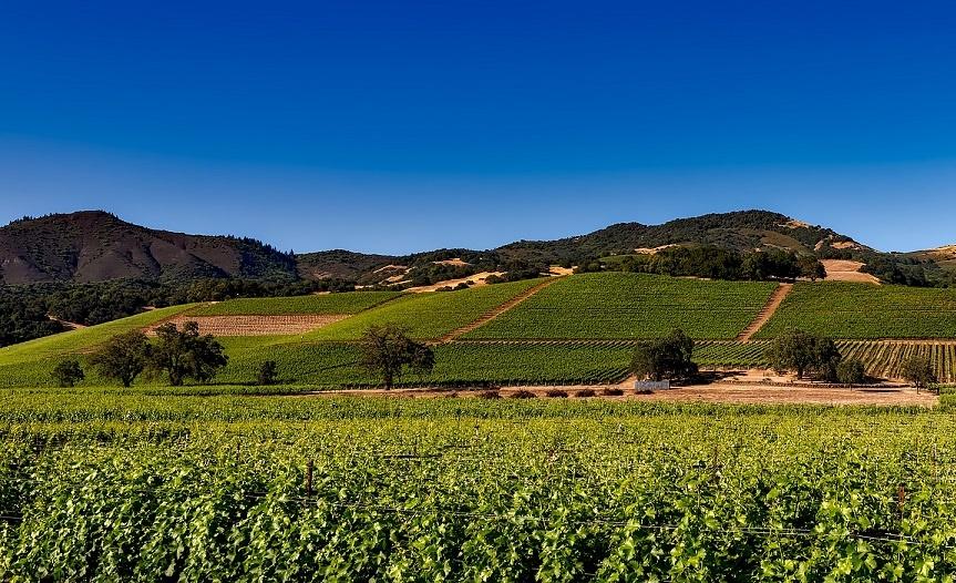 виноградник в Калифорнии фото