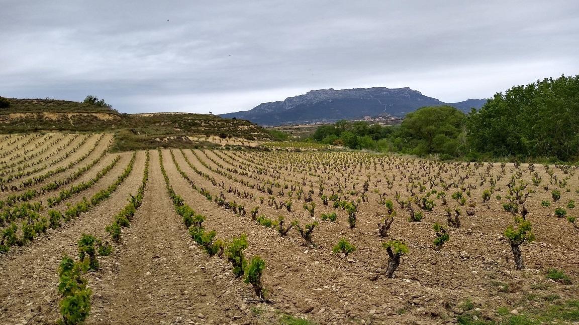 виноградник Темпранильо в Испании
