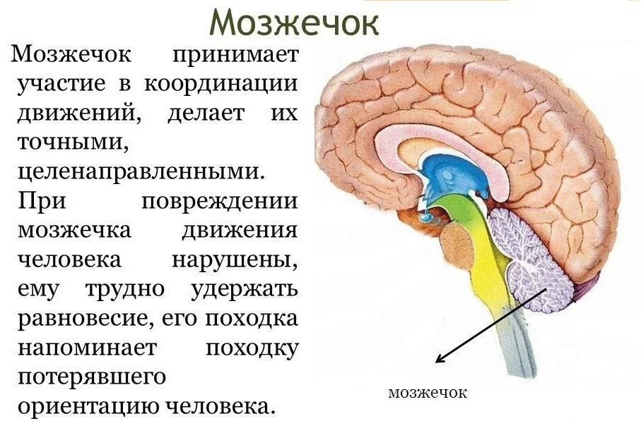мозжечок головного мозга фото