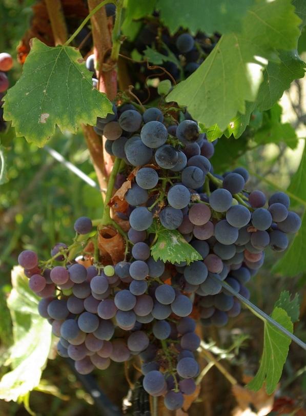 сорт винограда Гренаш