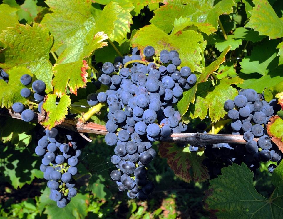 сорт винограда Шпетбургундер