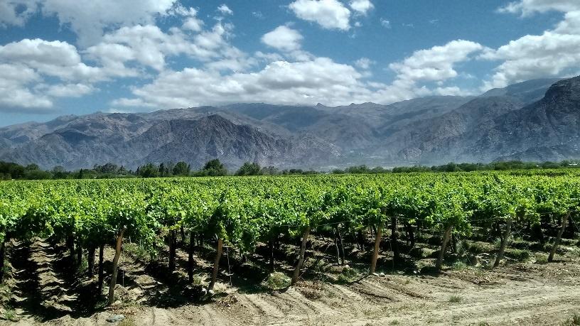 виноградник Мальбек в Аргентине