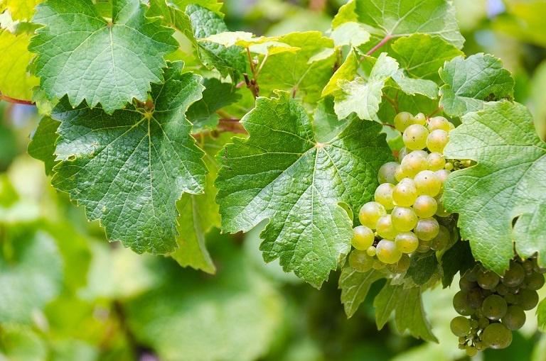 немецкий виноград Рислинг