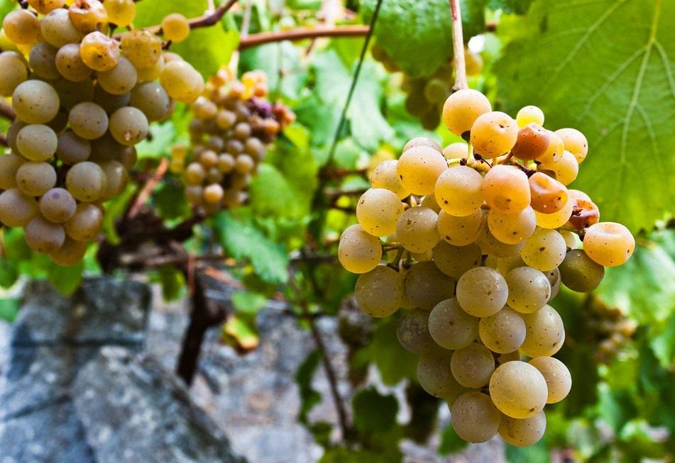 сорт винограда Альбариньо