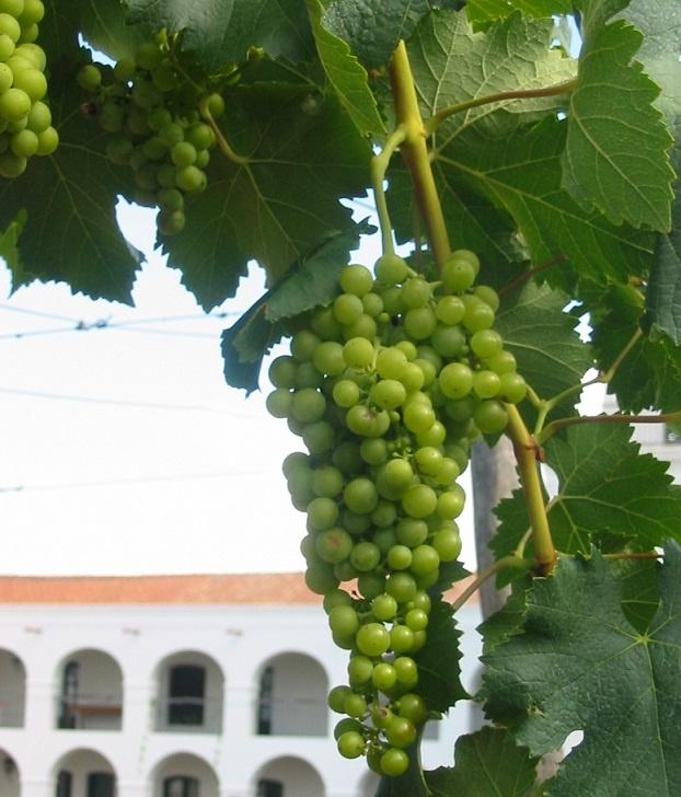 сорт винограда торронтес